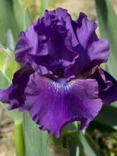 Iris germanica Rosalie Figge - Iris des Jardins