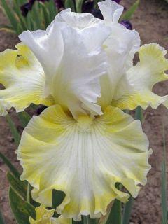 Iris germanica Smiling Faces - Iris des jardins