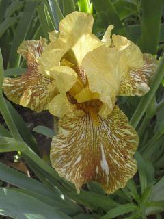 Iris germanica Tiger Honey - Iris des Jardins
