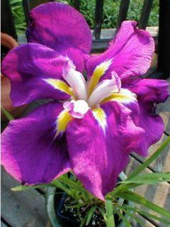Iris du Japon - Iris ensata Sensation