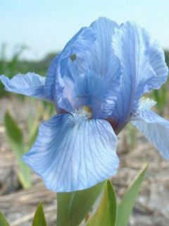 Iris pumila Blue Denim - Iris des Jardins nain