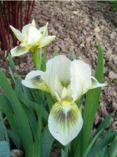 Iris pumila Green Spot - Iris des Jardins nain