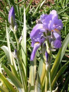 Iris pallida Variegata - Iris pâle panaché de jaune.
