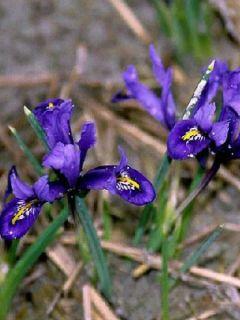 Iris reticulé 'Harmony'