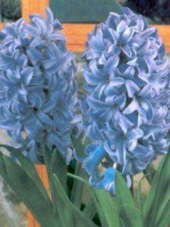 Jacinthe Delft Blue préparée pour le forçage - Hyacinthus (x) orientalis