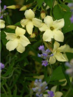 Jasminum officinale Clotted Cream - Jasmin parfumé