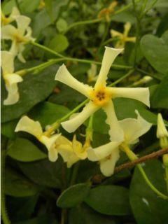 Trachelospermum Star of Toscane - Jasmin étoilé