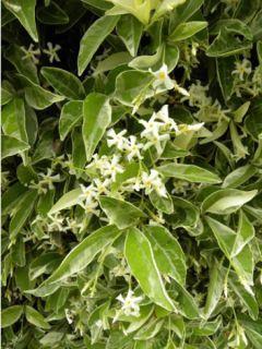 Trachelospermum jasminoides Variegatum - Jasmin étoilé panaché.