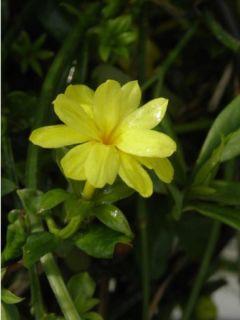 Jasmin primevère - Jasminum mesneyi