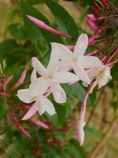 Jasmin rosé d'hiver