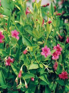 Jasmin Beesianum