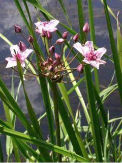 Butomus umbellatus - Jonc fleuri