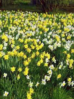 Narcisse pseudonarcissus - Jonquille des Bois