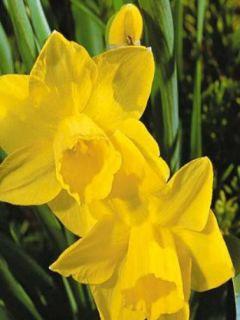 Narcisse Quail