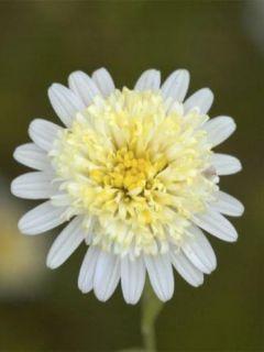 Kalimeris pinnatifida var. hortensis