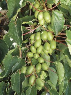 Kiwai 'Ambrosia'