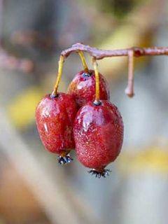 Kiwi, Kiwai 'Kiwai Femelle Fruits Rouges'
