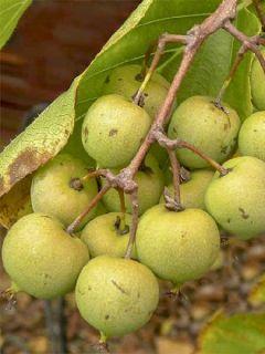 Kiwi, Kiwai 'Kiwai Femelle Fruits Verts'