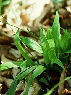 Carex plantaginea - Laîche à feuilles larges
