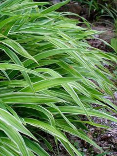 Carex siderosticha Variegata - Laîche
