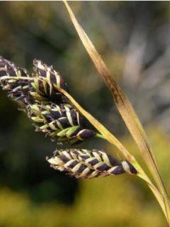 Carex atrata - Laîche des montagnes