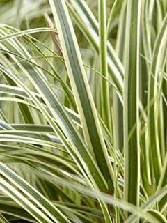 Carex oshimensis Evercream - Laîche d'Oshima