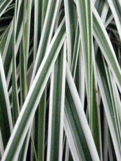 Carex oshimensis Everest - Laîche d'Oshima