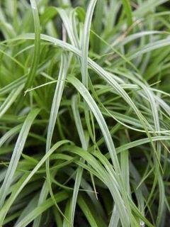 Carex oshimensis Evergreen - Laîche d'Oshima