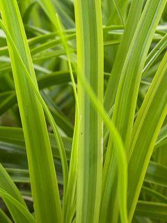 Carex oshimensis Everlime - Laîche d'Oshima
