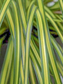 Carex oshimensis Eversheen - Laîche d'Oshima