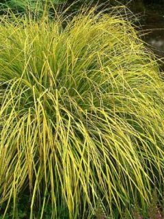 Carex elata Aurea - Laîche dorée