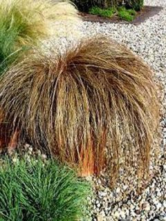 Carex flagellifera - Laîche de Nouvelle-Zélande