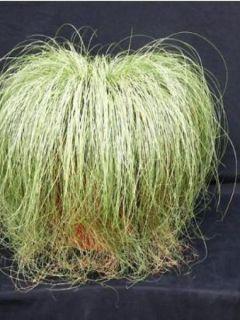 Carex comans Frosted Curls - Laîche