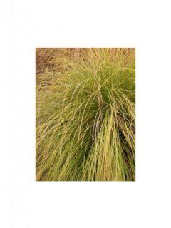 Carex flagellifera Kiwi - Laîche Kiwi