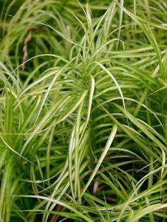 Carex musk.Silberstreif - Laîche d'Amérique