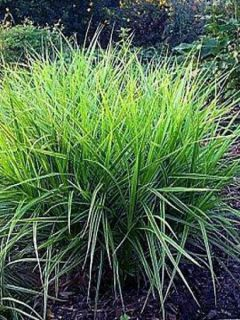 Carex muskingumensis Variegata - Laîche palmée