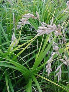 Carex muskingumensis - Laiche d Amerique