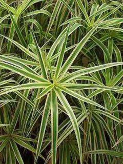 Carex phyllocephala Sparkler - Laîche panachée