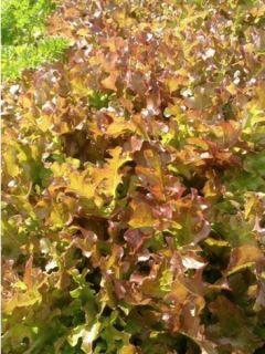 Laitue à couper Red Salad Bowl - Lactuca sativa
