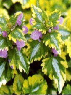 Lamium Maculatum Anne Greenaway, Lamier