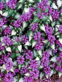 Lamium maculatum Purple Dragon - Lamier argenté et violet
