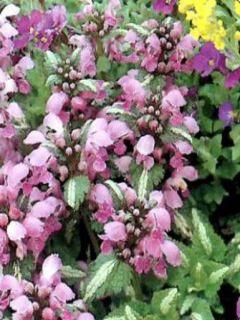 Lamium Shell Pink