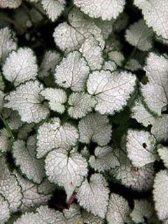Lamium maculatum Sterling Silver - Lamier argenté