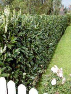 Laurier cerise - Prunus laurocerasus Caucasica - Laurier Palme - Laurier du Caucase