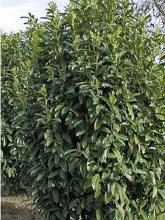 Laurier-Cerise, Laurier palme, Laurière 'Genolia'®