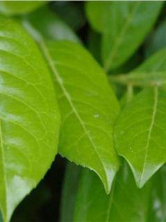 Laurier cerise - Prunus laurocerasus Novita