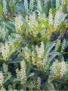 Laurier cerise - Prunus laurocerasus Otto Luyken