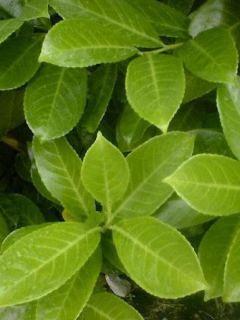 Laurier cerise - Prunus laurocerasus Rotundifolia