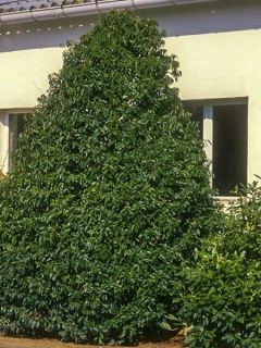 Laurier du Portugal 'Myrtifolia'