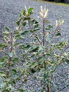 Laurier du Portugal panaché - Prunus lusitanica Variegata